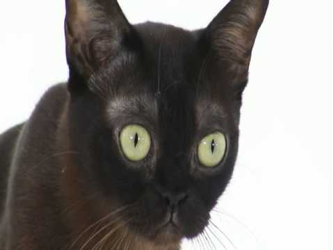 Burmese  Cats 101  Animal Planet