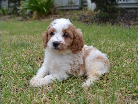 The most adorable cavoodle puppies!