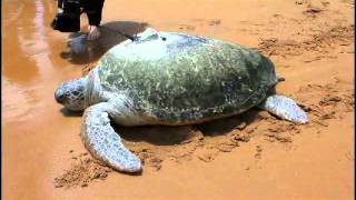 """Big Girl"" the turtle is released back into the wild Thumbnail"