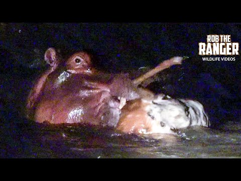 Watch This Extremely Rare Footage Of Hippo Eating Impala!! | Raw Africa