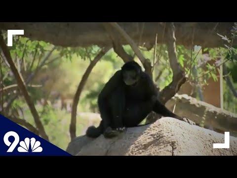 Woman-climbs-into-monkey-exhibit-at-El-Paso-Zoo