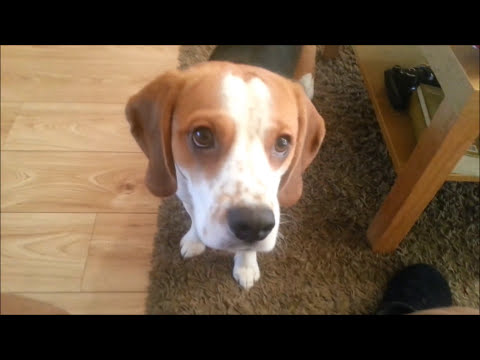 Charlie the Beagle Performs Amazing Dog Trick