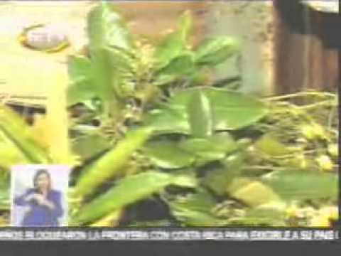 La Jamaica y sus Beneficios   Canal 7   17 03 06   informe quemecomo com
