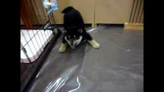 日本の犬と言えばやっぱり柴犬♪ キリッとした顔立ちが特徴ですが、まだ...