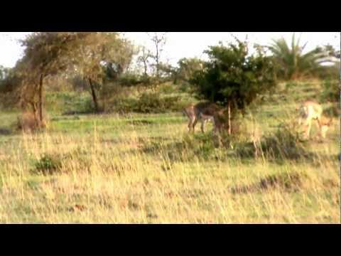 Movie of wild Deer in K G F