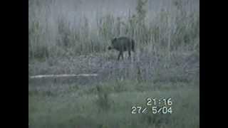 Поведение кабана в дикой природе