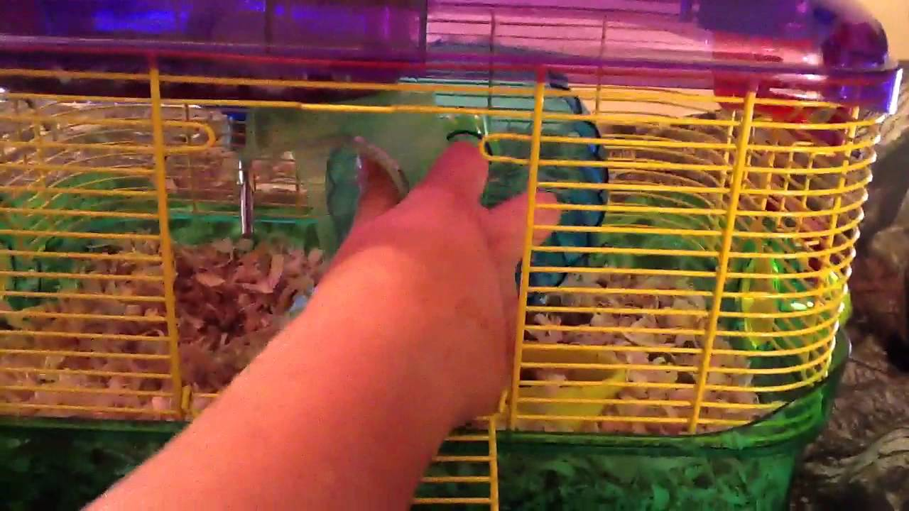 How To Clip Guinea Pig Nails