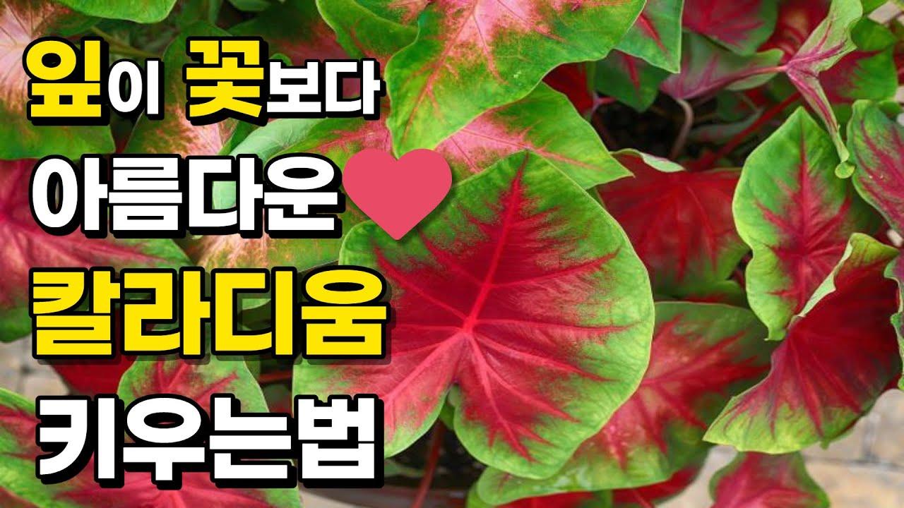 매혹적인 실내식물 끝판왕! 신품종 칼라디움 12가지