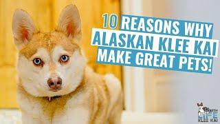 10 Reasons Why Alaskan Klee Kai Make Great Pets