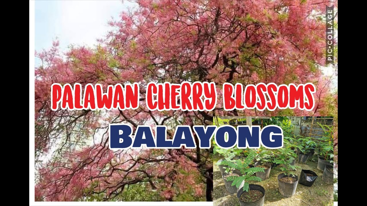 Palawan Cherry Blossom Or Balayong Youtube