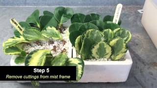 Amy Foss Peperomia and Variegation