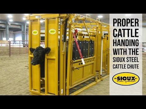 Proper Cattle Handing With The Sioux Steel Cattle Chute