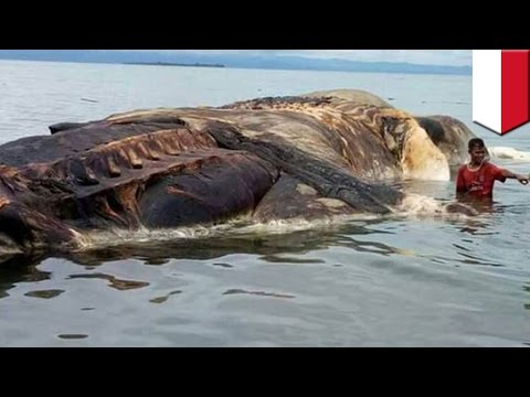 Giant mystery marine animal washed up on Indonesian island is actually something ordinary - TomoNews
