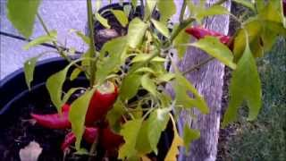 Results of growing 4 varieties of hot peppers in containers!