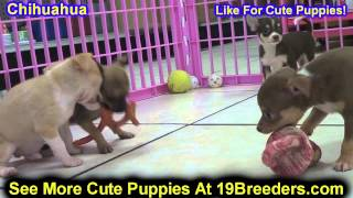 Chihuahua, Puppies, For, Sale, In, Detroit, Michigan, Mi, Waverly, Holt, Inkster, Wyandotte, Forest