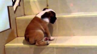Bulldog Lovers English Bulldog Puppy Is Scared To Go Down Stairs