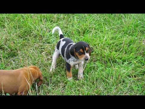 Totally unique and awesome COONHOUND mix puppies