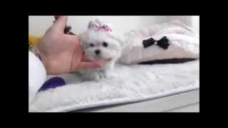 Micro Size Maltese Puppy - Baby Dolly