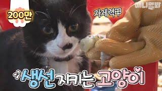 차라리 고양이한테 생선을 맡기지ㅋㅋㅋ 레알 생선 지키는 대박 기특 고양이!