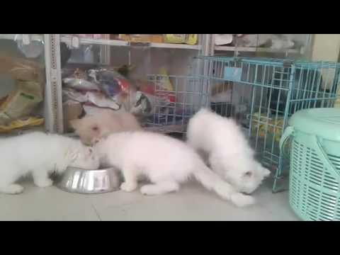 पर्शियन कैट बिल्लियाँ बिक्री के लिए दिल्ली में 9999039993, cat for sale in delhi white  colour इंडिय