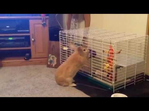 Rex rabbit opens cage to get in.