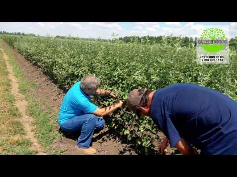 Питомник саженцев плодовых культур