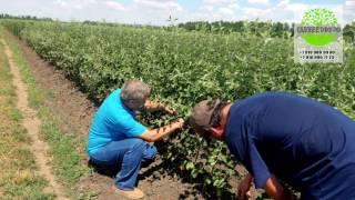 видео Крупномеры декоративных деревьев купить в Украине