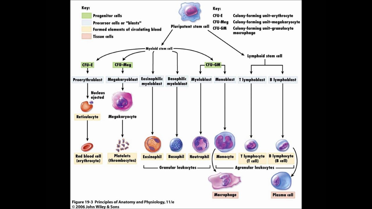 medium resolution of hemopoiesis formation of blood cells youtube red blood cells blood platelet diagram
