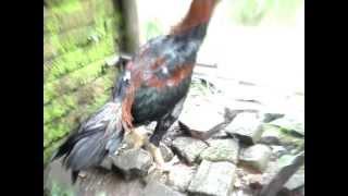 Ayam Bangkok Aneh Sedunia