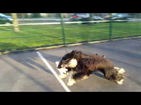 Joe Black - funny afghan hound 2 - glove adventure