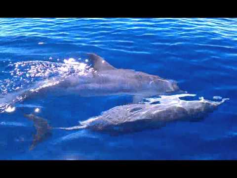 Delfines En El Area Oeste Puerto Rico