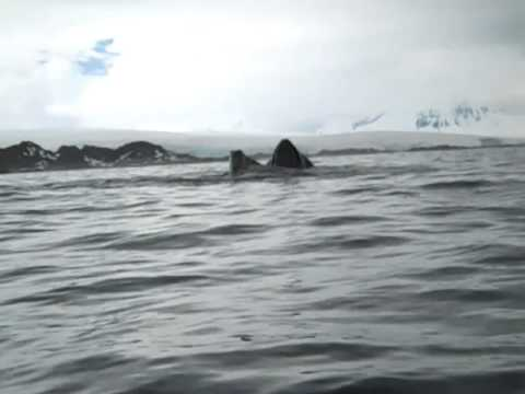 Day of the Whales at Palmer Station, Antarctica
