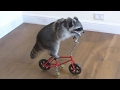 Funny Raccoons Videos Compilation [NEW HD VIDEO]