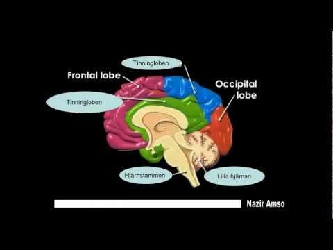 Hjärna hjärnans delar anatomi
