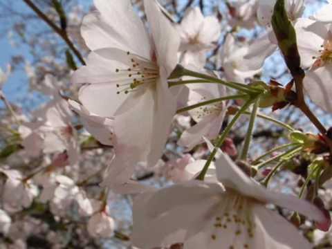 SakuraJapanese folk song 1