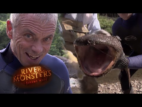 Thumbnail: Catching A Giant Japanese Salamander By Hand - River Monsters