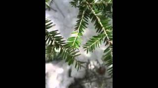 MyNature Apps;  Identifying an Eastern Hemlock, Tsuga canadensis
