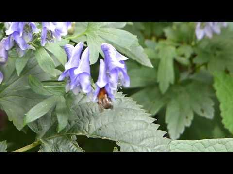 Bumblebee on Monkshood トラマルハナバチ♀がトリカブトに訪花吸蜜