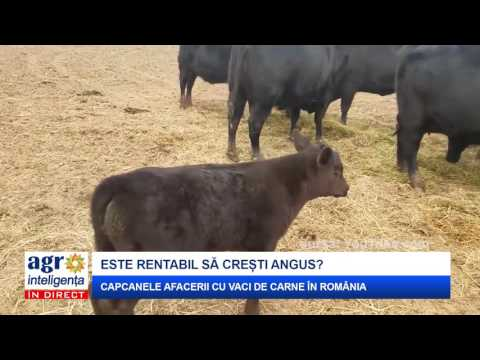 Cât de rentabilă este creșterea vacilor Angus?