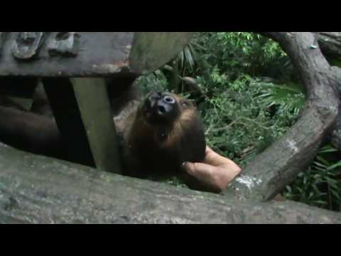 Three-toed sloth - slowest animals in the world