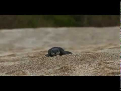 A Baby Leatherback Turtle Makes Its Way to the Sea