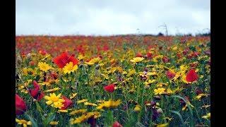 Полевые цветы. Красивое слайд  шоу