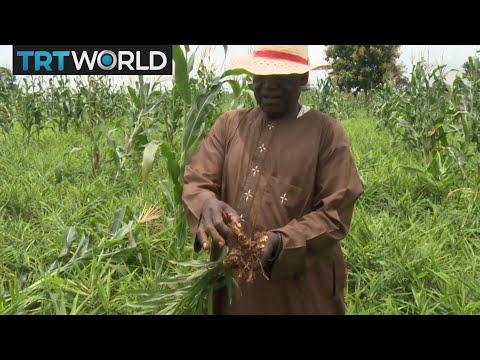 Money Talks: Profits decline in Nigeria's ginger business