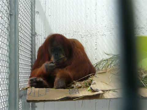 Combing Sumatran orangutan
