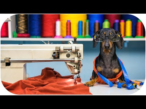 Dachshund dog TAILOR! Funny animal video!