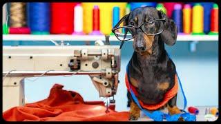 Dachshund dog TAILOR! Funny animal video!