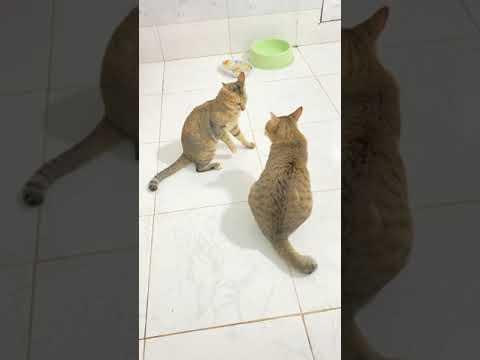 Khế Thúi đòi lại danh dự cho mèo cụt đuôi