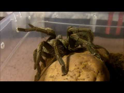 Tarantula Feeding Video 140 Part 1 - I'm Back