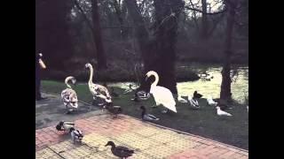 Bossy Teenage Swans Thumbnail