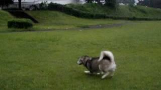 Alaskan Malamute アラスカンマラミュート いつもの公園で必殺『銀台風...